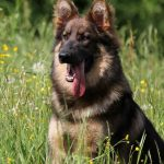 Altdeutsche Schäferhunde-élevage Nuance de la Fleur de Vie