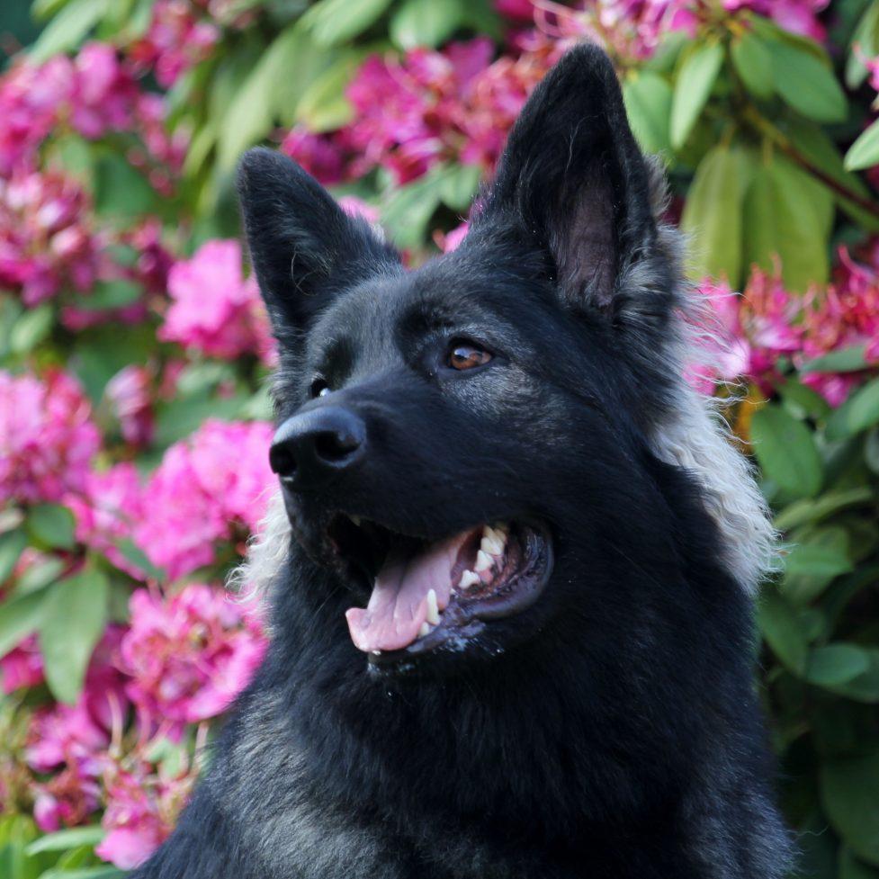 Altdeutsche Schäferhunde-Nuance de la fleur de vie