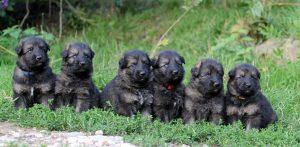 Mâles : Bleu ; Brun ; Jaune ; Rouge ; Gris ; Beige
