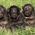 Femelles : Verte ; Violette ; Rose