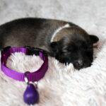 Femelle crème collier violet
