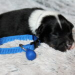 Mâle noir tri-color collier bleu