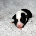 Mâle noir tri-color collier brun