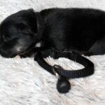 Mâle noir tri-color collier noir