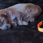 Femelle charbonnée de bleu collier orange