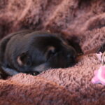 Femelle noir et feu collier rose