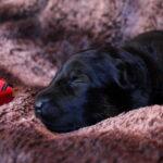 Femelle noir et feu collier rouge