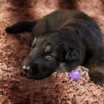 Femelle noir et feu collier violet