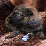 Mâle charbonné collier bleu