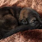 Mâle fortement charbonné collier noir