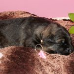 Femelle argentée collier rose
