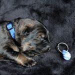 Mâle collier bleu